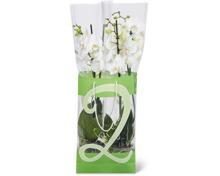 Alle Phalaenopsis, 2 Rispen, im Duo-Pack