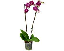 Alle Phalaenopsis 2 Rispen, Topf, Ø 12 cm