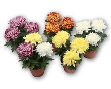 Chrysantheme 3-Baller