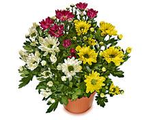 Chrysantheme «Carneval»