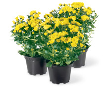 Chrysanthemen, 3 Stück