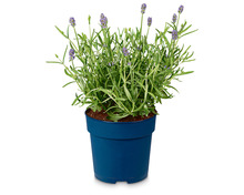 Echter Lavendel «Angustifolia aromatico»