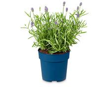 Echter Lavendel «Hidcote»