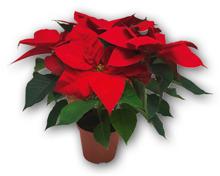 GARDENLINE® Weihnachtsstern