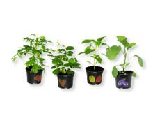 Gemüse-/Erdbeerpflanze
