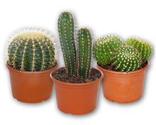 Kaktus XXL