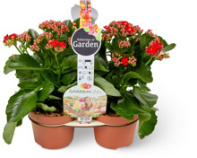 Kalanchoe im Duo-Pack