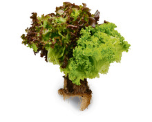 Living-Salad-Trio
