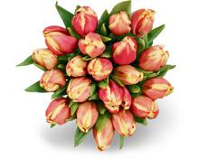 M-Classic Tulpen, Bund, 20 Stück