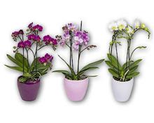 Orchidee 2-Trieber