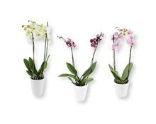 Orchidee in weisser Keramik