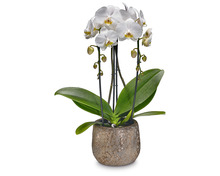 Orchidee Phalaenopsis «Cascade»