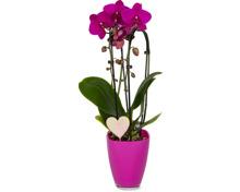 Phalaenopsis 2 Rispen, dekoriert