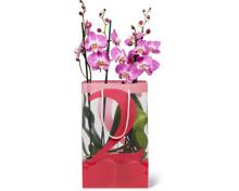 Phalaenopsis 2 Rispen im Duo-Pack