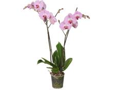 Phalaenopsis 2 Rispen, im Topf, 12 cm