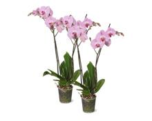 Phalaenopsis, 2 Rispen, Topf, 12 cm