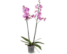 Phalaenopsis 2 Rispen, Topf, Ø 15 cm