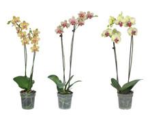 Phalaenopsis 2 Stieler