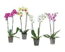 Phalaenopsis 2-Stieler