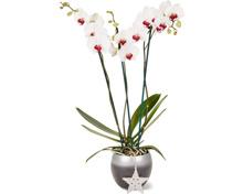 Phalaenopsis, 3 Rispen, dekoriert im Übertopf