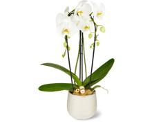 Phalaenopsis Cascade 2 Rispen im Keramiktopf