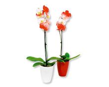 Phalaenopsis gefärbt Nationalfeiertag
