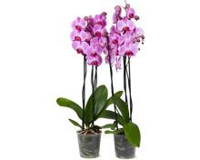 Phalaenopsis mit 3 Rispen, 2 Stück