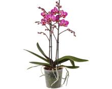 Phalaenopsis multiflora