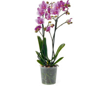Phalaenopsis Multiflora 2 Rispen