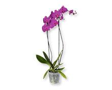 Phalaenopsis XXL