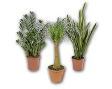 Solitärpflanze