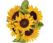 Sonnenblumen, Bund, 5 Stück