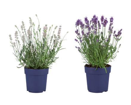 Lavendel angustifolia