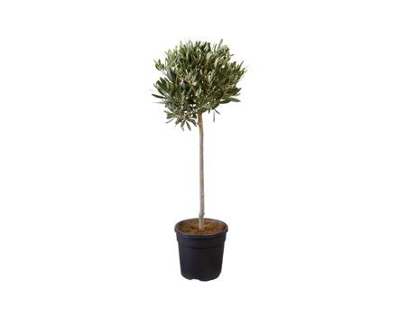 Oliven-Stämmchen