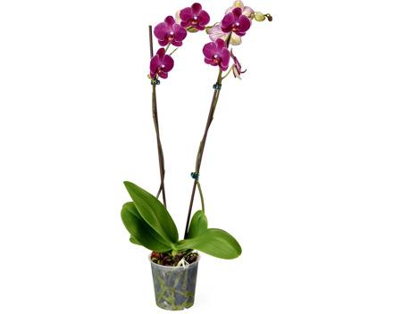 Phalaenopsis 2 Rispen