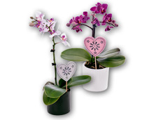 Mini-Orchidee