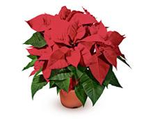 weihnachtsstern leuchtend rot bl hend 50 rabatt coop