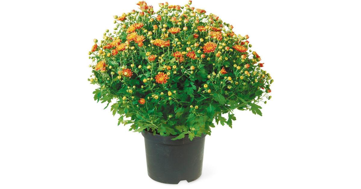 chrysanthemen garden mums im 19 cm topf 20 rabatt migros ab. Black Bedroom Furniture Sets. Home Design Ideas